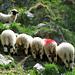 Schafe freuen sich am Gläck