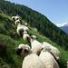 Die Schafe weigern sich hartnäckig, laponia41 den Weg freizugeben
