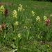 Holunderorchis (Orchis sambucina) im Salwald