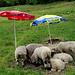 Glückliche Schafe unter zeitgemässem Gläck