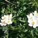 narzissenblütige Anemonen