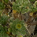 Seidenhaariger Goldstern (Nauplius sericeus), eine hier endemische Pflanze