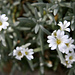 Cerastium strictum (Aufrechtes Hornkraut, Rigid Mouse-ear, Peverina rigida, Cornetta spessa)
