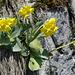 Flühblümchen (Primula auricula). Wächst auf kalkhaltigem Boden.