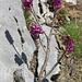 Gemeiner Seidelbast (Daphne mezereum)