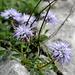 Herzblättrige Kugelblume (Globularia cordifolia)