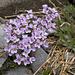Rundblättriges Täschelkraut (Thlaspi rotundifolia)