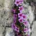 Gegenblättriger Steinbrech (Saxifraga oppositifolia)
