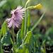 Soldanelle und Schlüsselblume (Soldanella alpina und Primula elatior)