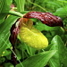 Sabot de Vénus (Cypripedium calceolus)