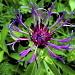 Centaurée des montagnes (Centaurea montana)