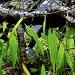 Muguet de mai (Convallaria majalis)