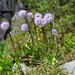 Schaft-Kugelblume (Globularia nudicaulis)