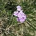 Blume bei den Zwergen.