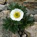 Gletscher-Hahnenfuss (Ranunculus glacialis)