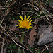 Ein Löwenzahn blüht im Januar