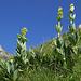 In der Karhole: Gelber Enzian (Gentiana lutea)