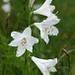 Weisse Trichterlilie (Paradisea liliastrum)