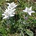 Edelweiss (Leontopodim alpinum)