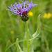 Bergflockenblume (Centaurea alpina)