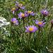 Wo die Alpenaster wächst, ist auch das Edelweiss zu finden(Aster alpinus, Leontopodium alpinum)