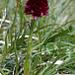 Männertreu (Nigritella nigra)