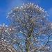 Alberi fioriti di neve