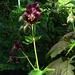 Storchenschnabel, geranium
