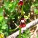 Ragwurz, ophrys insectifera