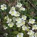 Alpenfettkraut, pinguicula alpina