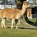 6.2.2014 Lamas beim Altersheim Chlöschterli
