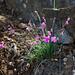 Stein-Nelke (Dianthus silvestris)
