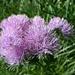 prächtiges Exemplar eines Blütenstandes der Akeleiblättrigen Wiesenraute