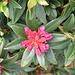 <b>Rododendro ferruginoso</b> (Rhododendron ferrugineum)