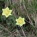<b>Anemone alpino</b> (Pulsatilla alpina sulphurea)