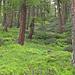 Prächtiger Lärchenwald oberhalb von La Forclaz