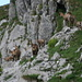 Chamois families with at least 6 babies
