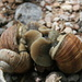 X-rated:-) <br />Two roman snails mating