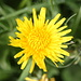 Sparviere pelosetto (Hieracium pilosella)