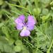 Viola con sperone (Viola calcarata)