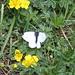 Farfalla che ha richiesto molte moine per farsi fotografare