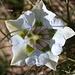Genziana di Koch bianca (Gentiana acaulius), abbastanza rara in questo colore (normalmente è viola)