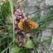 der Perlmutterfalter eröffnet den Blumen- und Schmetterlingsreigen