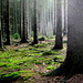 Morgens an der Olegge/Osterwald. Ein Traum von Wald.