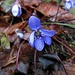 Ein nasses Leberblümchen