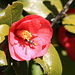 Spring has arrived in California I: <br />Blooming Camelia<br /><br />(picture taken on the last Sunday walk)