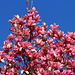 Spring has arrived in California II: <br />Blooming Magnolia tree<br /><br />(picture taken on the last Sunday walk)