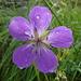 Geranio selvatico (Geranium selvaticum)