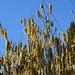 Die Haselnussbüsche blühen schon