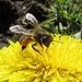 Biene mit Pollenhöschen im Februar<br /><br />Ape con mutandina di polline in febbraio
